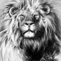 Lion - Pencil drawing 450 x 500 - potlood