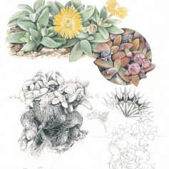 DEILANTHE peersii ARTWORK